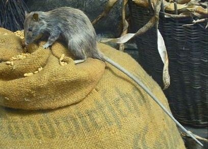 roof rat removal experts