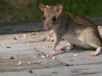 Roof Rats Pest Control Berkeley
