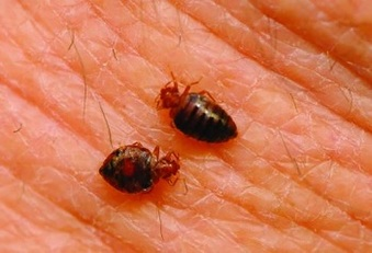 bed bug bites berkeley ca