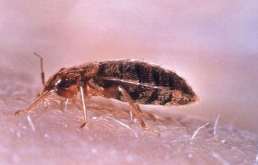 an image of a bed bug in Berkeley, CA