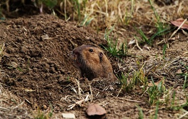 gophers holes traps rodents