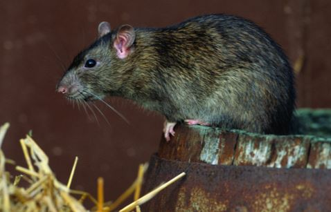 norway rat extermination removal