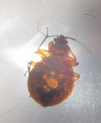 a picture of a bed bug extermination in berkeley, ca