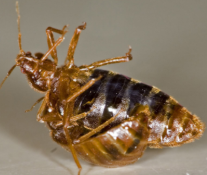 this is an image of bed bugs exterminator