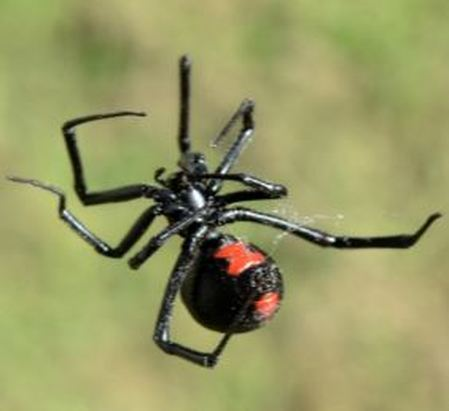 black widow spider web