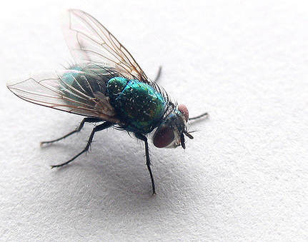 this is an image of fly of popular alameda exterminator pests